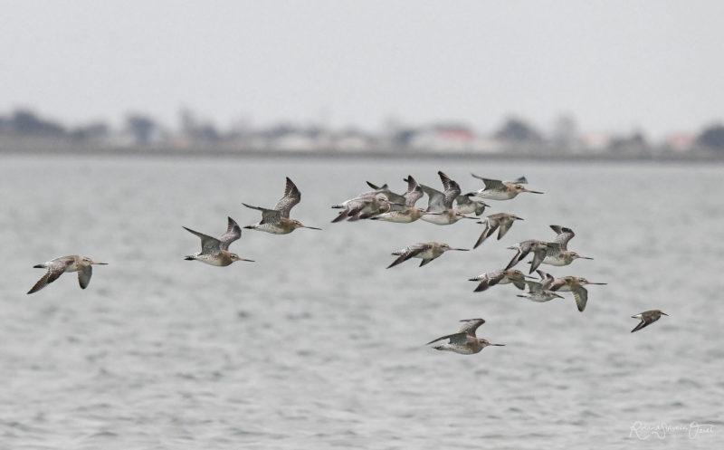 Oiseaux au Passage du Gois