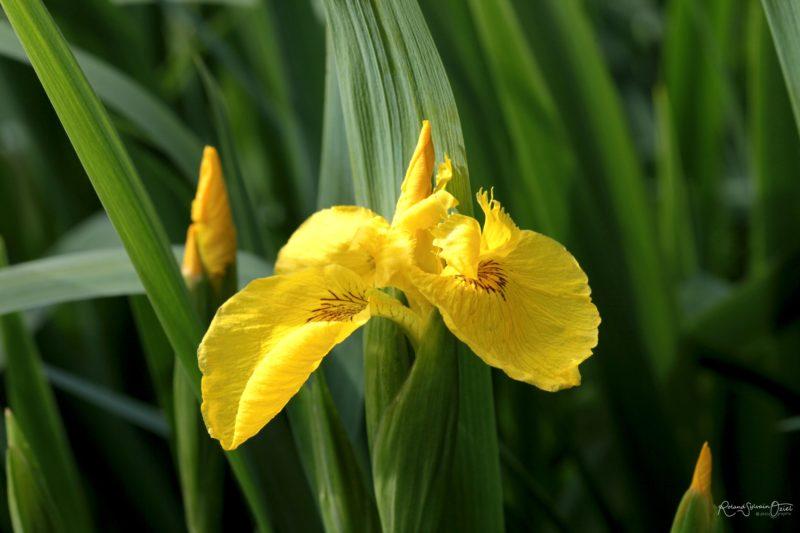 Iris sauvage jaune