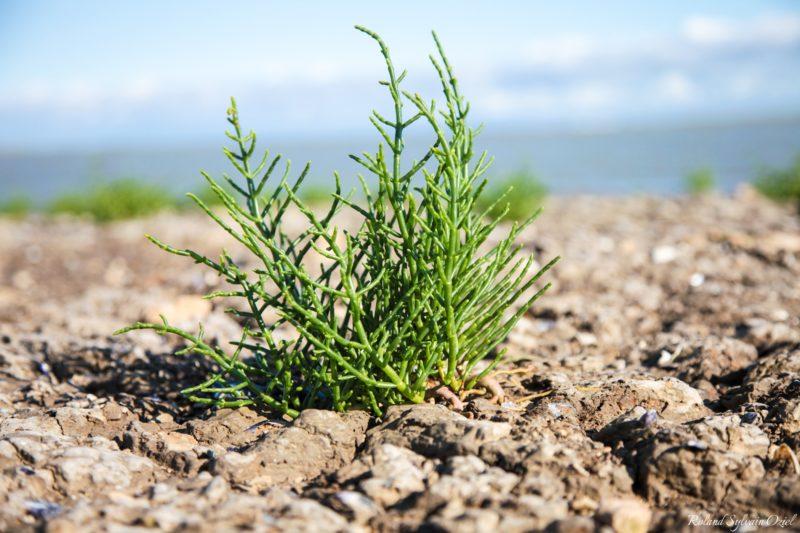 Salicaire plante sauvage du marais